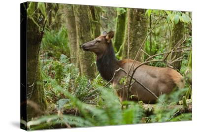 A Roosevelt Elk Stands in a Lush Forest in Ecola State Park-Vickie Lewis-Stretched Canvas Print