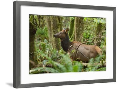 A Roosevelt Elk Stands in a Lush Forest in Ecola State Park-Vickie Lewis-Framed Photographic Print