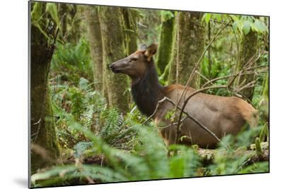 A Roosevelt Elk Stands in a Lush Forest in Ecola State Park-Vickie Lewis-Mounted Photographic Print