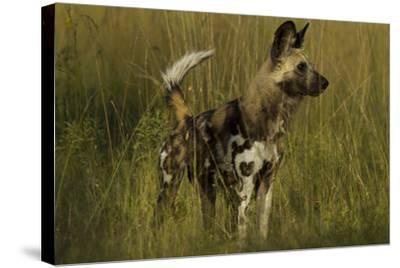 Portrait of an Endangered African Wild or Cape Hunting Dog, Lycaon Pictus, in Tall Grass-Beverly Joubert-Stretched Canvas Print