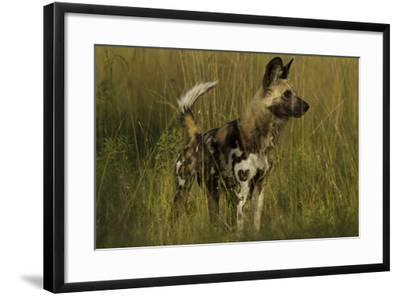 Portrait of an Endangered African Wild or Cape Hunting Dog, Lycaon Pictus, in Tall Grass-Beverly Joubert-Framed Photographic Print