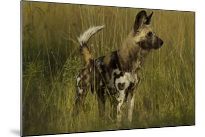 Portrait of an Endangered African Wild or Cape Hunting Dog, Lycaon Pictus, in Tall Grass-Beverly Joubert-Mounted Photographic Print