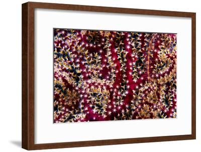 A Red Gorgonian Coral Feeding at Night with its Polyps Open-Jason Edwards-Framed Photographic Print