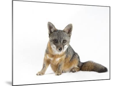 A Rare Santa Catalina Island Fox, Urocyon Littoralis Catalinae-Joel Sartore-Mounted Photographic Print