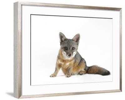 A Rare Santa Catalina Island Fox, Urocyon Littoralis Catalinae-Joel Sartore-Framed Photographic Print