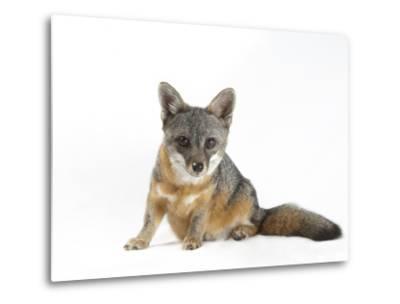 A Rare Santa Catalina Island Fox, Urocyon Littoralis Catalinae-Joel Sartore-Metal Print