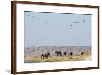 A Herd of African Elephants, Loxodonta Africana, Along Chobe River-Sergio Pitamitz-Framed Photographic Print