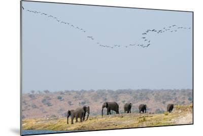 A Herd of African Elephants, Loxodonta Africana, Along Chobe River-Sergio Pitamitz-Mounted Photographic Print