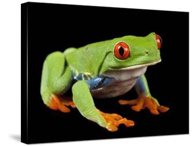 Red Eyed Tree Frog, Agalychnis Callidryas-Joel Sartore-Stretched Canvas Print