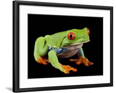 Red Eyed Tree Frog, Agalychnis Callidryas-Joel Sartore-Framed Photographic Print