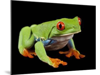 Red Eyed Tree Frog, Agalychnis Callidryas-Joel Sartore-Mounted Photographic Print