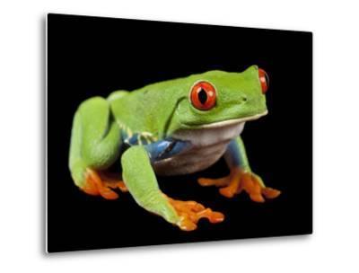 Red Eyed Tree Frog, Agalychnis Callidryas-Joel Sartore-Metal Print