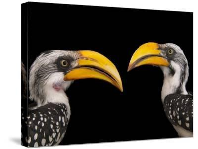 A Pair of Eastern Yellow-Billed Hornbills, Tockus Flavirostris, at the Indianapolis Zoo-Joel Sartore-Stretched Canvas Print