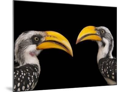 A Pair of Eastern Yellow-Billed Hornbills, Tockus Flavirostris, at the Indianapolis Zoo-Joel Sartore-Mounted Photographic Print