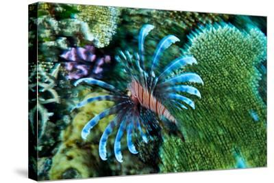 A Lionfish Swims across a Coral Reef with it's Venomous Fins Extended-Jason Edwards-Stretched Canvas Print