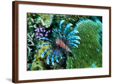 A Lionfish Swims across a Coral Reef with it's Venomous Fins Extended-Jason Edwards-Framed Photographic Print