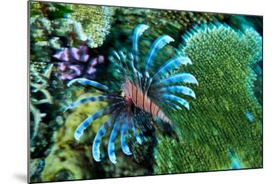 A Lionfish Swims across a Coral Reef with it's Venomous Fins Extended-Jason Edwards-Mounted Photographic Print