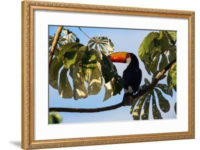 A Toco Toucan in a Tree Near Iguazu Falls at Sunset-Alex Saberi-Framed Photographic Print