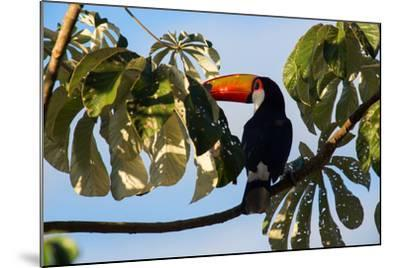 A Toco Toucan in a Tree Near Iguazu Falls at Sunset-Alex Saberi-Mounted Photographic Print