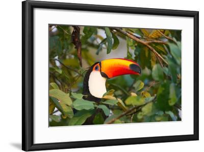 A Toco Toucan Perches in a Tree Near Iguazu Falls at Sunset-Alex Saberi-Framed Photographic Print