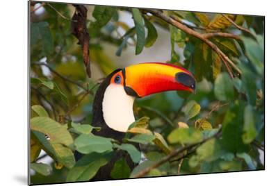 A Toco Toucan Perches in a Tree Near Iguazu Falls at Sunset-Alex Saberi-Mounted Photographic Print