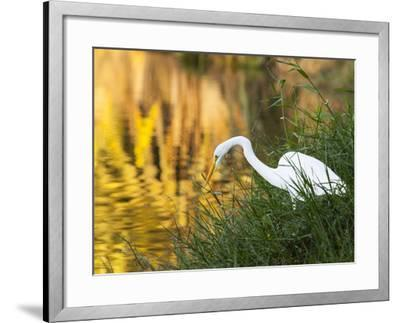 A Great Egret Fishing in Ibirapuera Park at Sunset-Alex Saberi-Framed Photographic Print