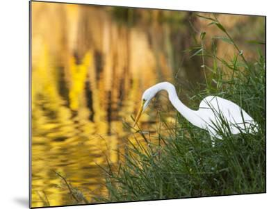 A Great Egret Fishing in Ibirapuera Park at Sunset-Alex Saberi-Mounted Photographic Print
