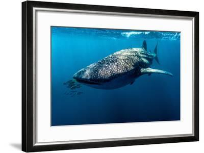 Yellowtail Fusilier Swim in Front of a Filter Feeding Whale Shark-Jason Edwards-Framed Photographic Print