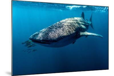 Yellowtail Fusilier Swim in Front of a Filter Feeding Whale Shark-Jason Edwards-Mounted Photographic Print