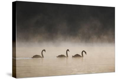 Three Blacks Swans Glide over Ibirapeura Park Lake on a Misty Morning-Alex Saberi-Stretched Canvas Print