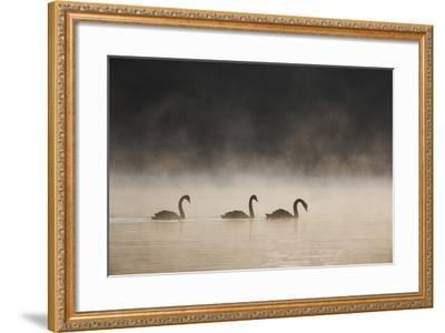 Three Blacks Swans Glide over Ibirapeura Park Lake on a Misty Morning-Alex Saberi-Framed Photographic Print