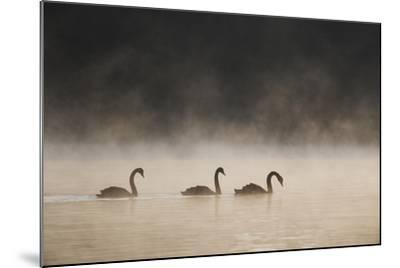 Three Blacks Swans Glide over Ibirapeura Park Lake on a Misty Morning-Alex Saberi-Mounted Photographic Print