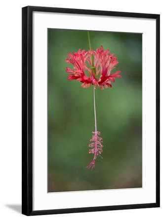 A Hibiscus Flower-Michael Melford-Framed Photographic Print
