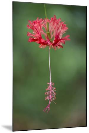 A Hibiscus Flower-Michael Melford-Mounted Photographic Print