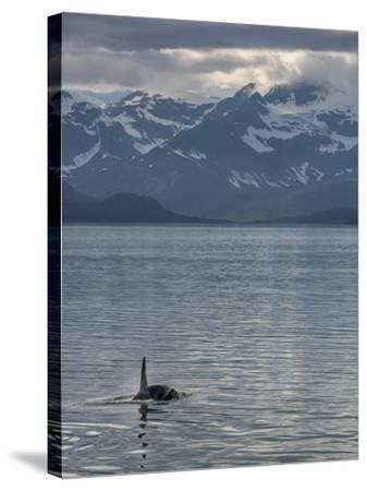 An Orca Near Point Adolphus in Glacier Bay-Michael Melford-Stretched Canvas Print