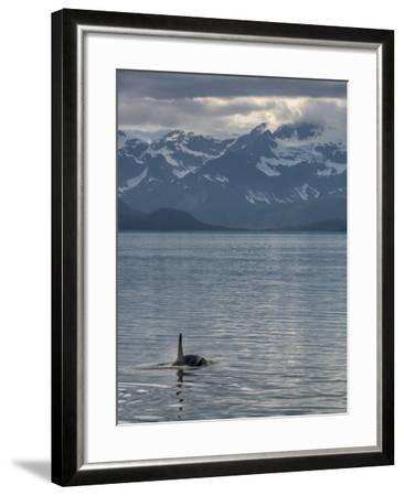 An Orca Near Point Adolphus in Glacier Bay-Michael Melford-Framed Photographic Print