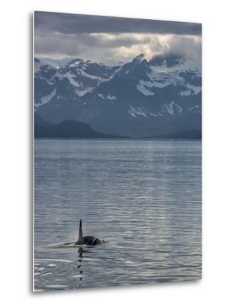 An Orca Near Point Adolphus in Glacier Bay-Michael Melford-Metal Print