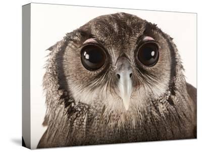 Verreaux's Eagle Owl, Bubo Lacteus, at Zoo Atlanta-Joel Sartore-Stretched Canvas Print