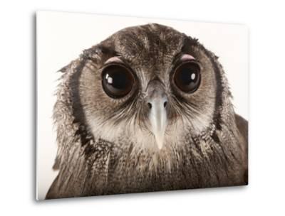 Verreaux's Eagle Owl, Bubo Lacteus, at Zoo Atlanta-Joel Sartore-Metal Print