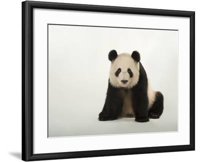 A Giant Panda, Ailuropoda Melanoleuca, at Zoo Atlanta-Joel Sartore-Framed Photographic Print