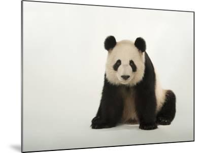 A Giant Panda, Ailuropoda Melanoleuca, at Zoo Atlanta-Joel Sartore-Mounted Photographic Print