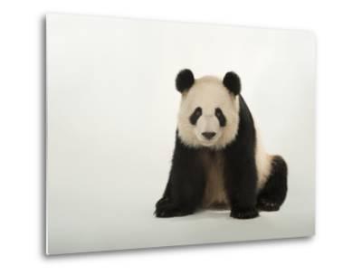 A Giant Panda, Ailuropoda Melanoleuca, at Zoo Atlanta-Joel Sartore-Metal Print