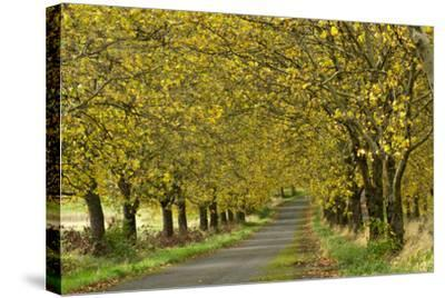 A Row of Trees Line a Country Lane in Fall-Vickie Lewis-Stretched Canvas Print
