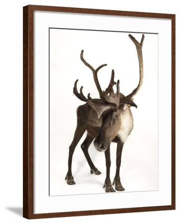 A Federally Endangered Woodland Caribou, Rangifer Tarandus Caribou-Joel Sartore-Framed Photographic Print