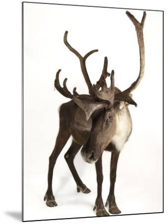 A Federally Endangered Woodland Caribou, Rangifer Tarandus Caribou-Joel Sartore-Mounted Photographic Print