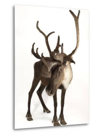A Federally Endangered Woodland Caribou, Rangifer Tarandus Caribou-Joel Sartore-Metal Print