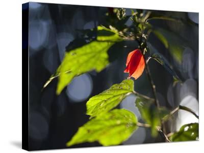 Sunlight on Malvaviscus Arboreus, a Hibiscus Plant-Alex Saberi-Stretched Canvas Print