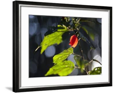 Sunlight on Malvaviscus Arboreus, a Hibiscus Plant-Alex Saberi-Framed Photographic Print