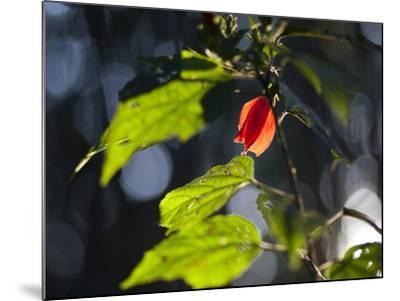 Sunlight on Malvaviscus Arboreus, a Hibiscus Plant-Alex Saberi-Mounted Photographic Print