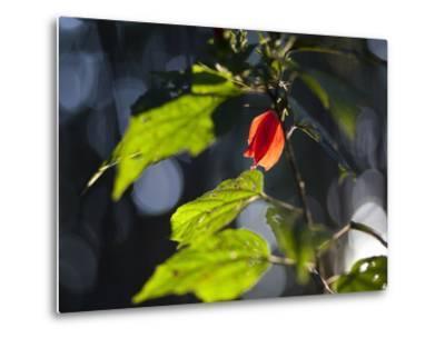 Sunlight on Malvaviscus Arboreus, a Hibiscus Plant-Alex Saberi-Metal Print